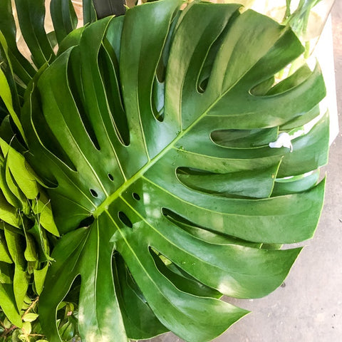 Monstera Deliciosa Leaf from Green Fresh Florals + Plants