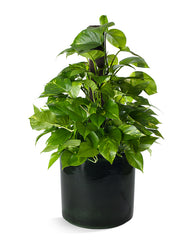 pothos in wasabi green ceramic container