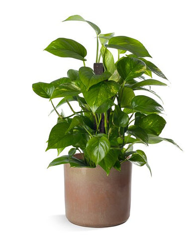 Pothos in a natural colored ceramic pot