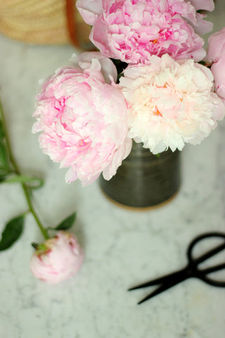 Peony cuttings with scissors