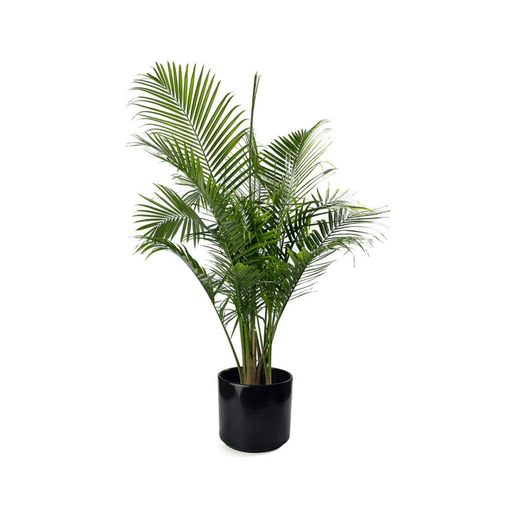 Majesty or Kentia Palm in Ceramic Container