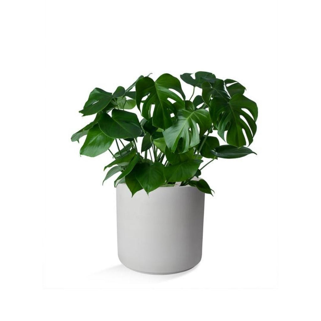 Monstera Deliciosa in Ceramic Container