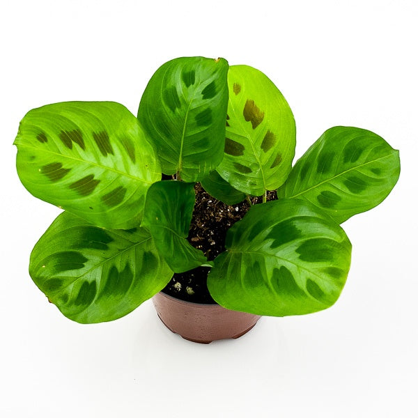 Green Prayer Plant 4""