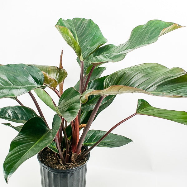 Red Congo Philodendron 10""