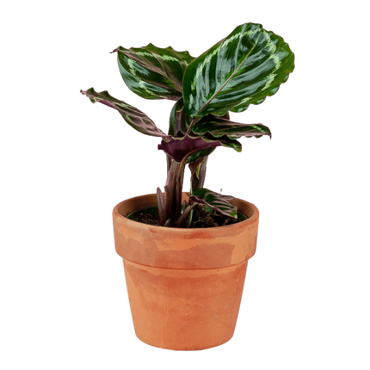 Rose-Painted Calathea 4""