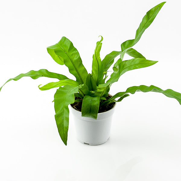 Victoria Bird's Nest Fern 4""