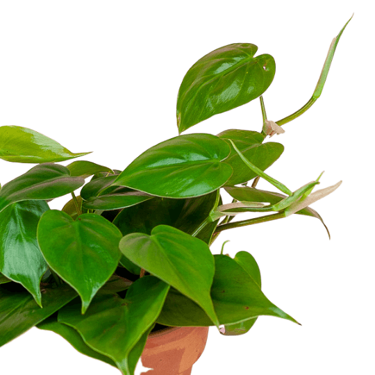 Heart Leaf Philodendron (Philodendron cordatum)