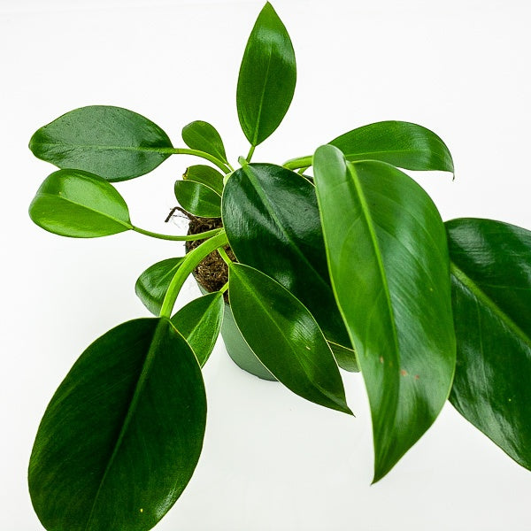 Green Congo Philodendron 4""