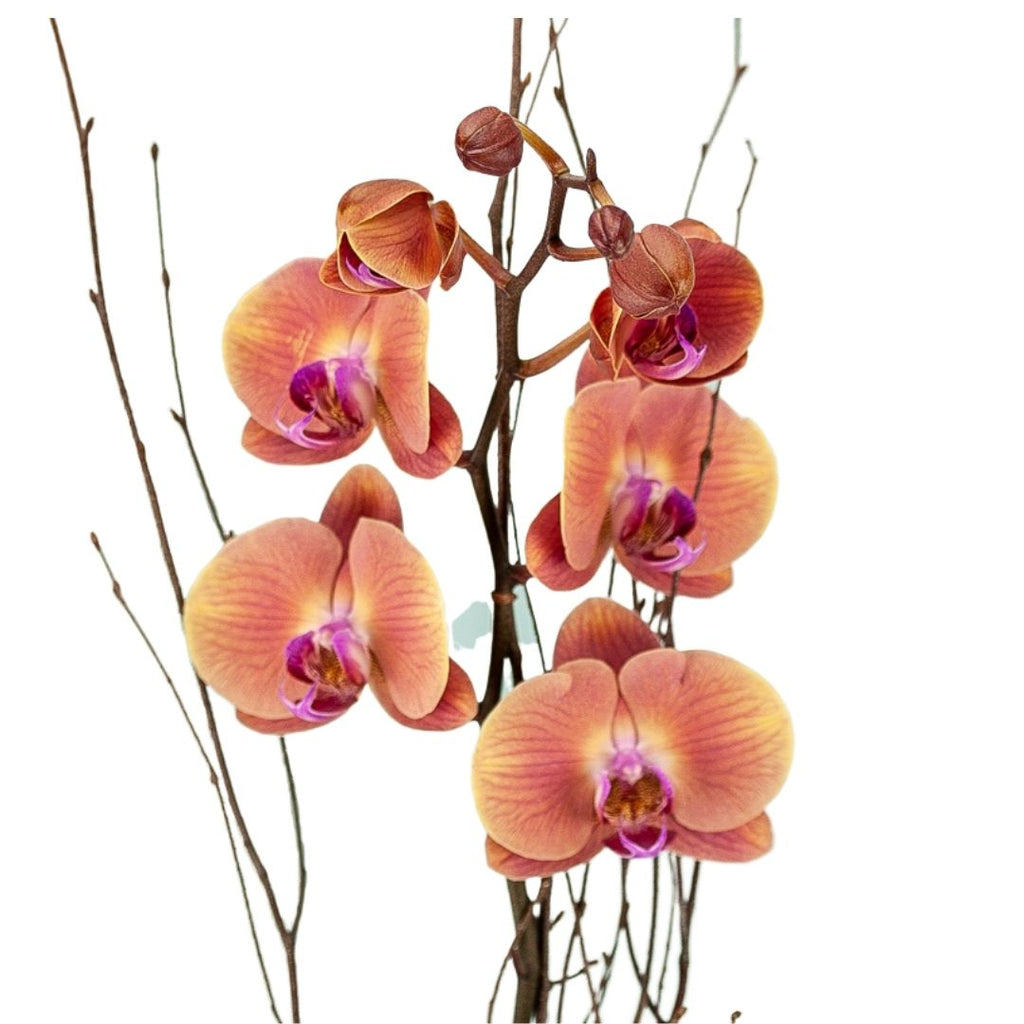 Novelty Potted Orchid