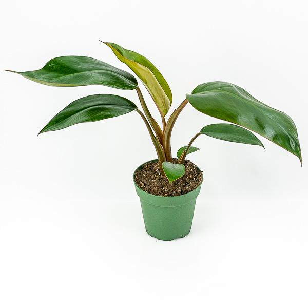 Red Congo Philodendron 4""