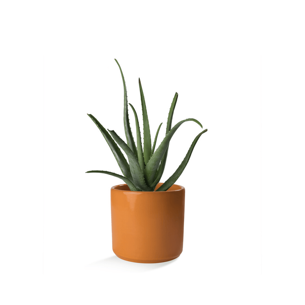 Aloe Vera in Ceramic Container