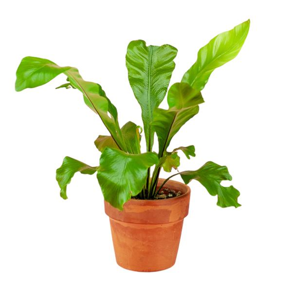 Bird's Nest Fern 4""