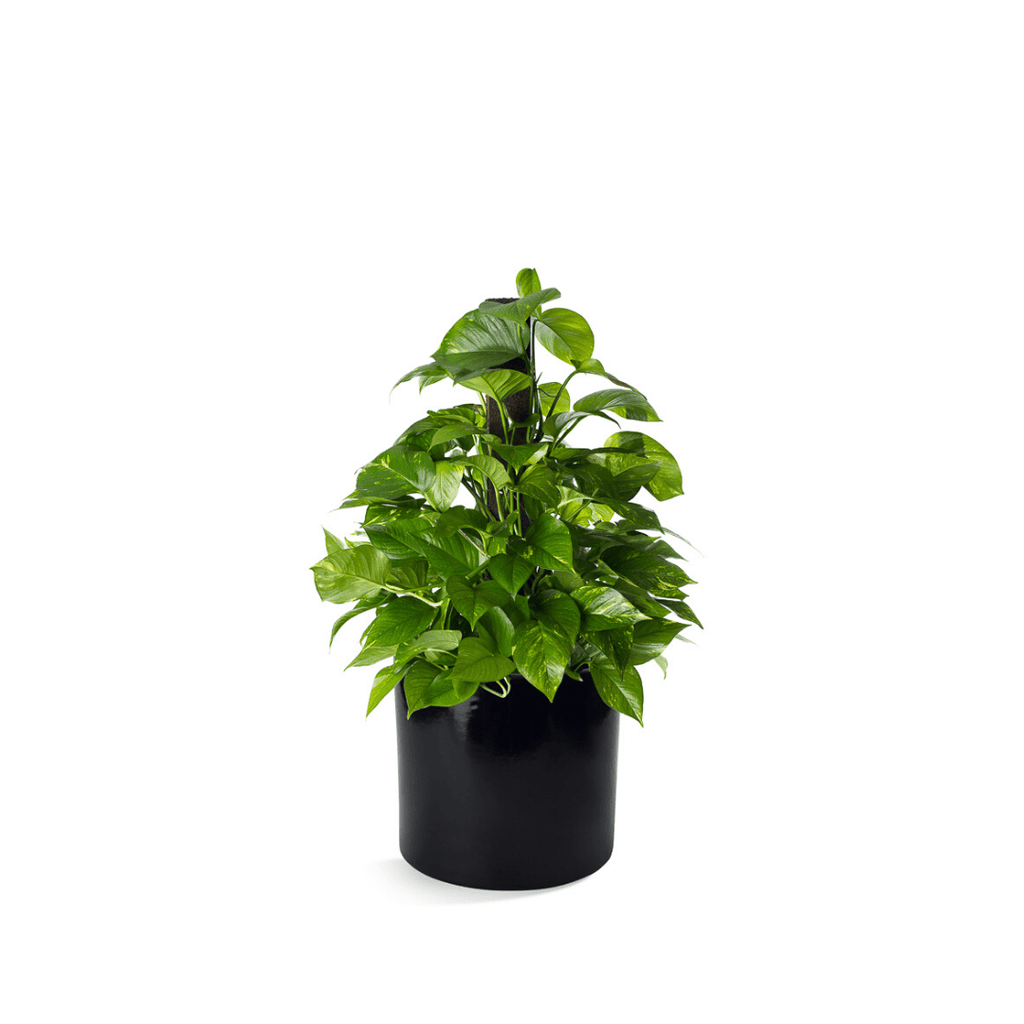 Pothos in Ceramic Container