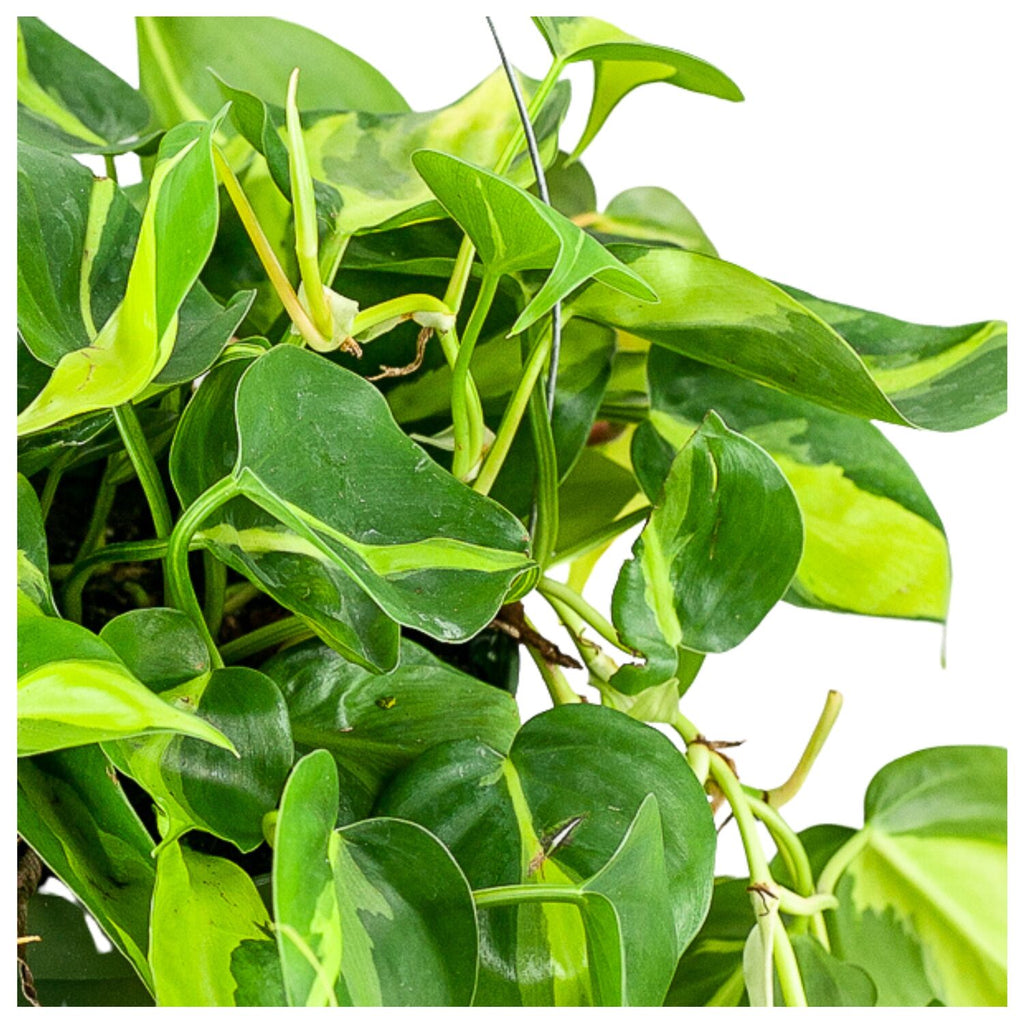 Brasil Philodendron 6""