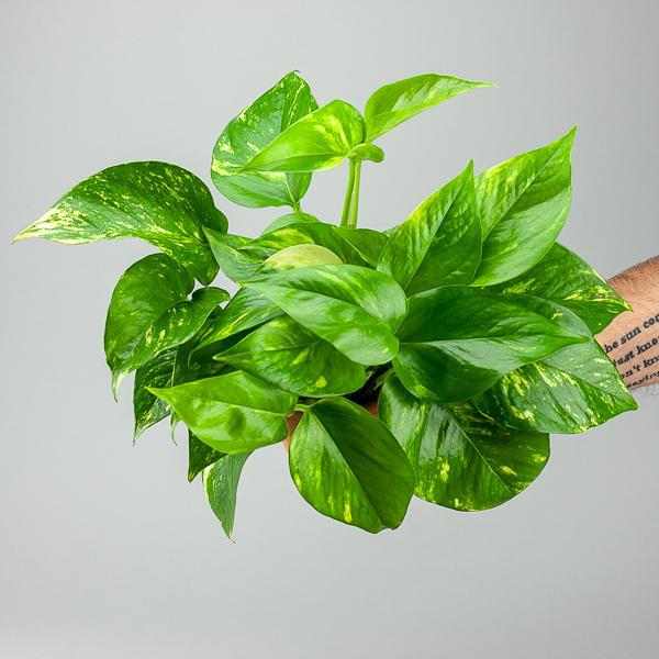 "4"" Golden Pothos (Epipremnum aureum)-Plants-Green Fresh Florals + Plants"