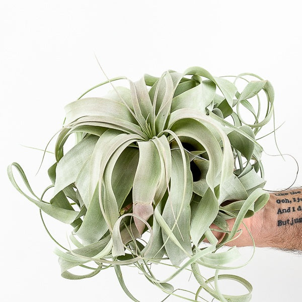 Tillandsia Xerographica (Large)