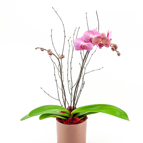 Dusty Rose Orchid Planting