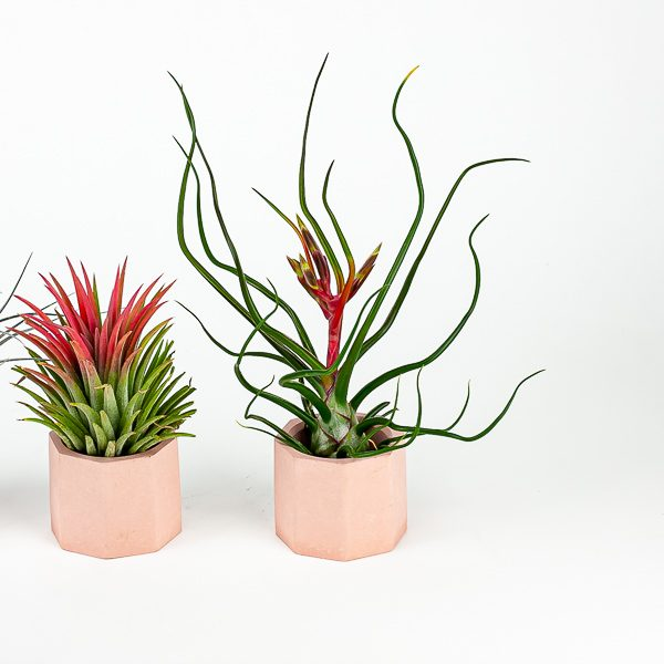 Air Plant Lovers Trio