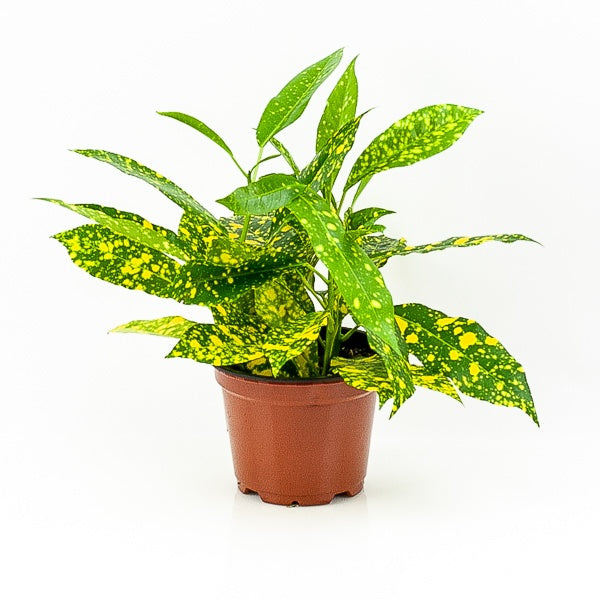 Gold Dust Croton 4""