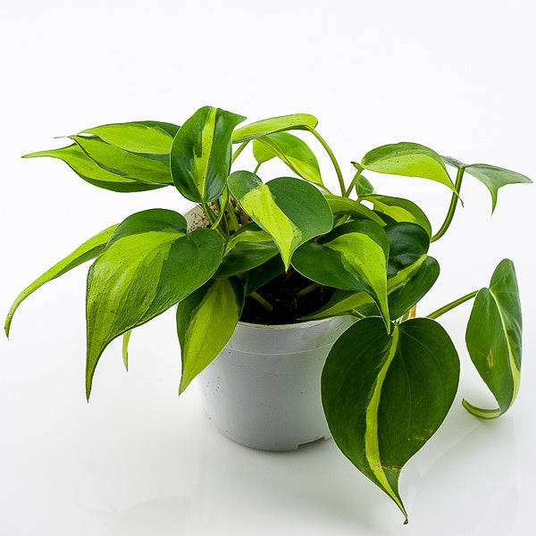 Brasil Philodendron 4""
