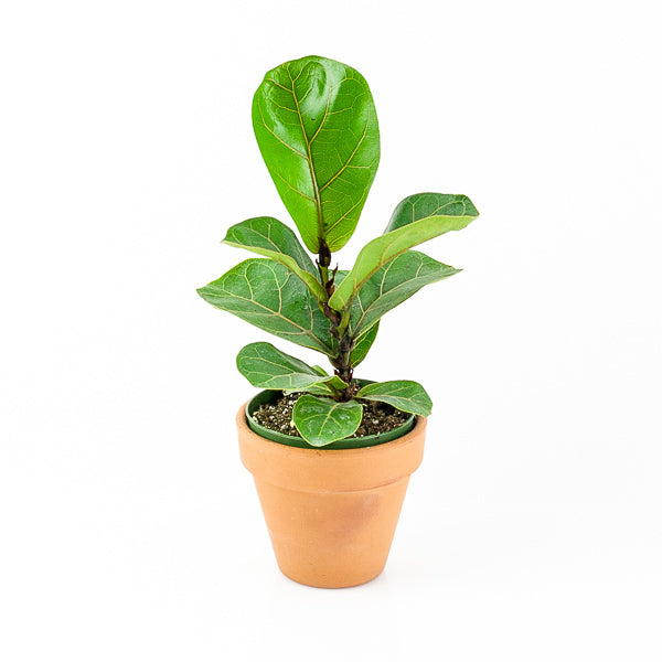 Fiddle Leaf Fig 4""