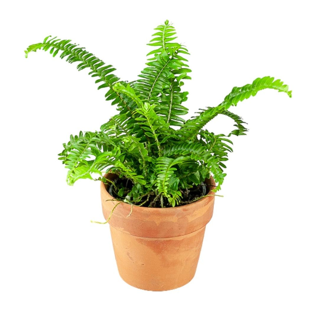 Jester's Crown Fern 4""