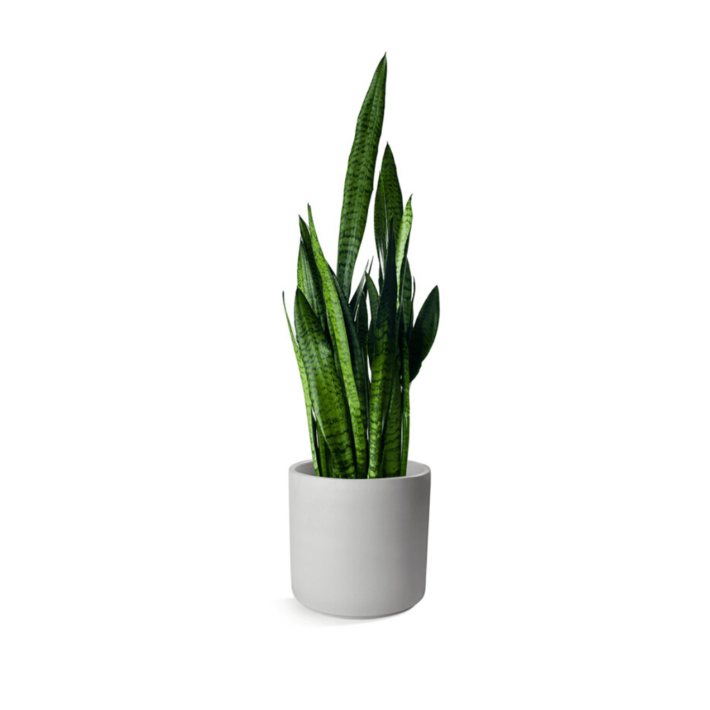 Sansevieria in Ceramic Container