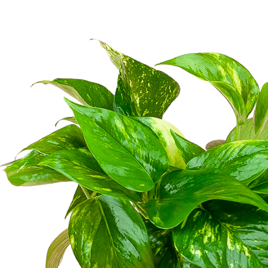Golden Pothos 4""