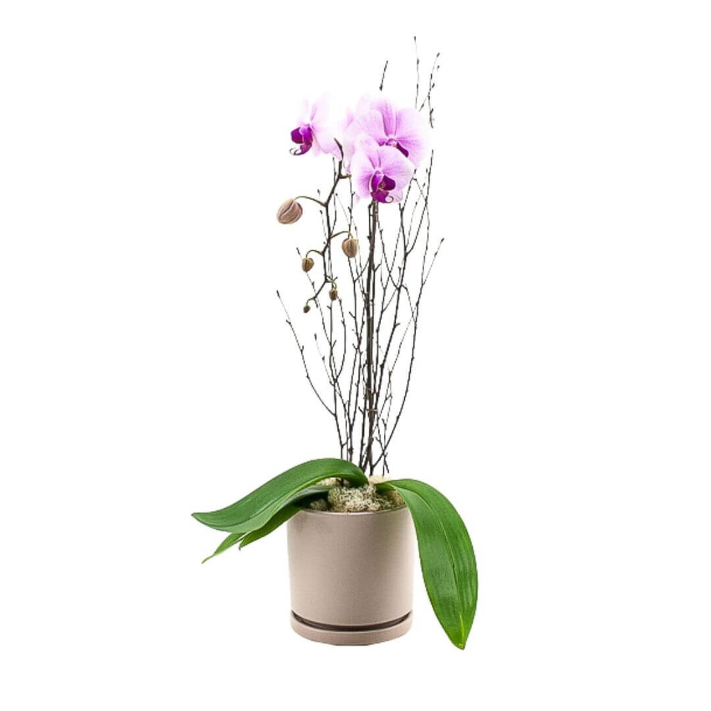 Blushing Pink Orchid Planting