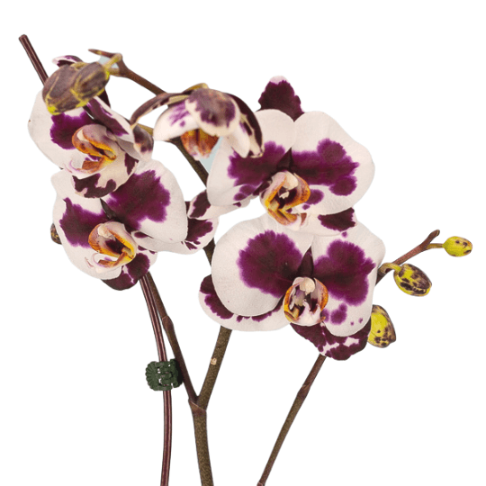 Novelty Orchid Variant