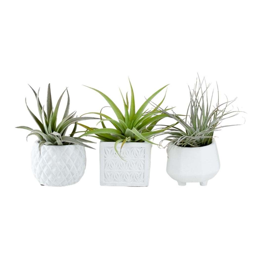 Geometric Air Plant Trio