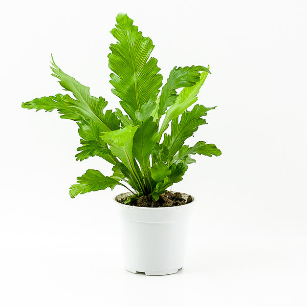 Japanese Bird's Nest Fern 4""