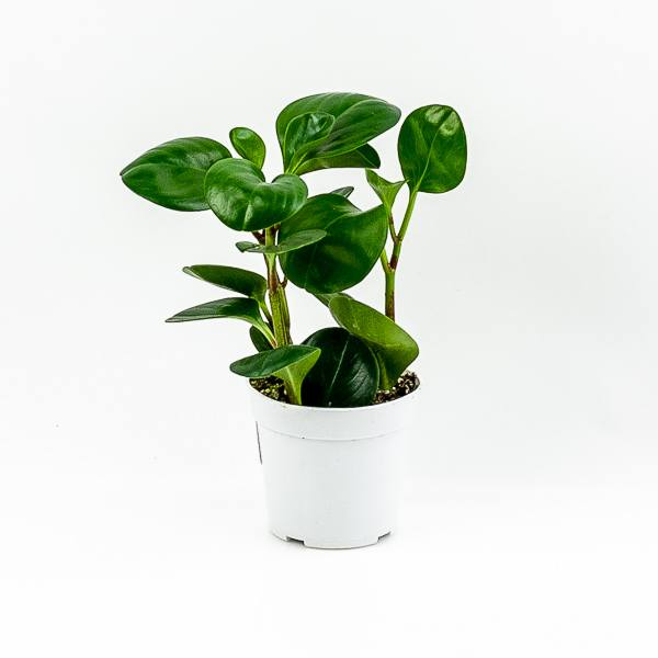 Pepper Face Peperomia 4""