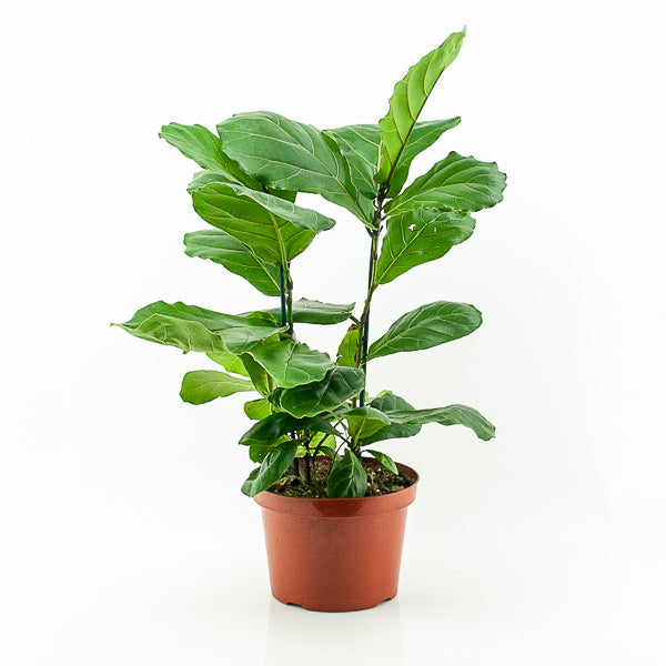 Fiddle Leaf Fig 8""
