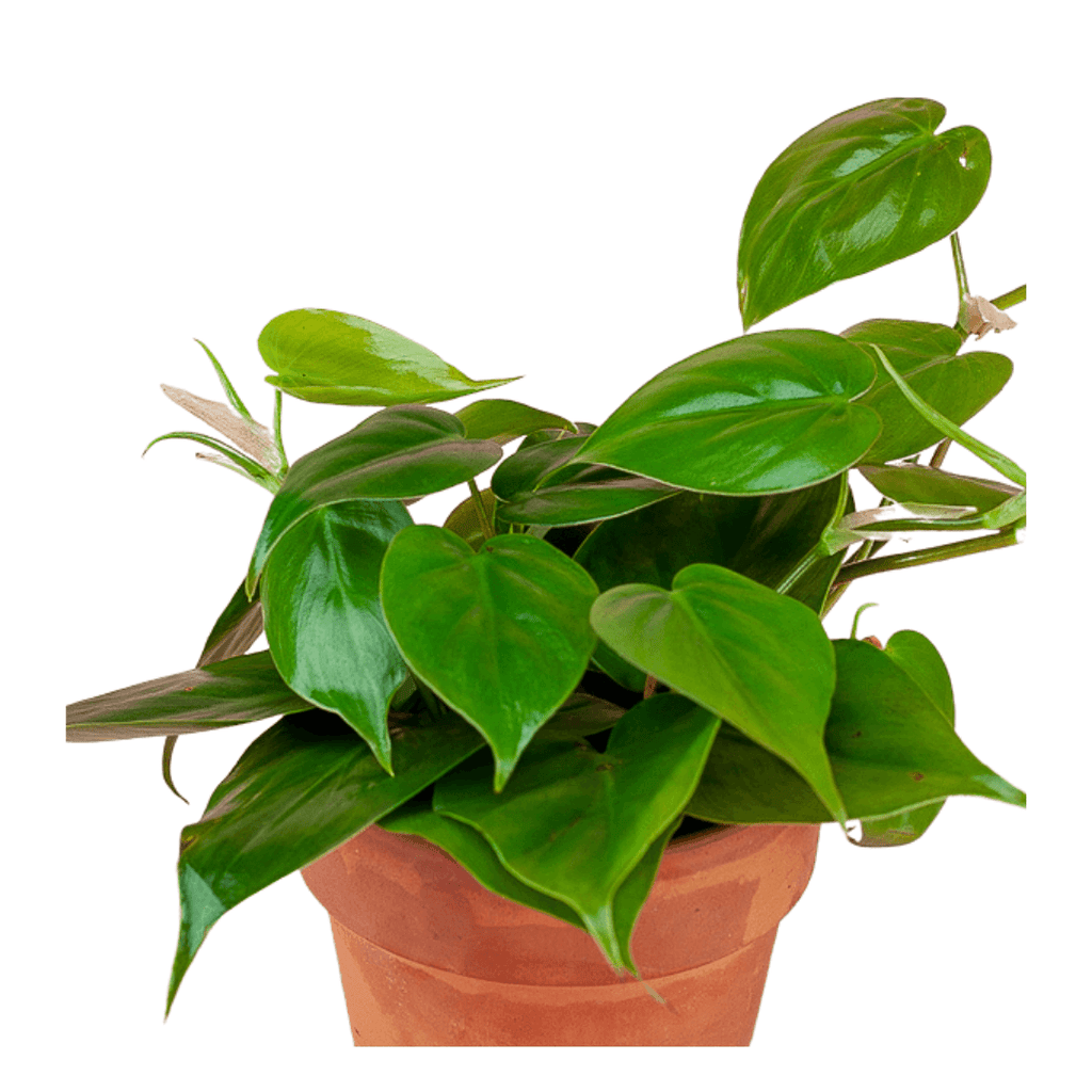 Heart Leaf Philodendron 4""