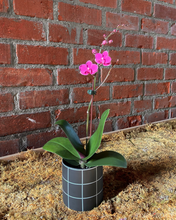 "Load image into Gallery viewer, Phalaenopsis Orchid 3"" Variety"
