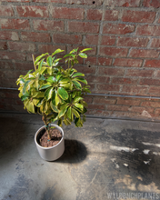 "Load image into Gallery viewer, Schefflera arboricola ""Dazzle"""