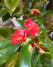 Load image into Gallery viewer, Anthurium Variety