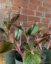 "Load image into Gallery viewer, Aglaonema || ""Red Siam"""
