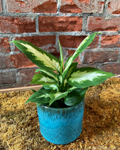 "Load image into Gallery viewer, Dieffenbachia ""Camille"""