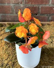Load image into Gallery viewer, Begonia reiger