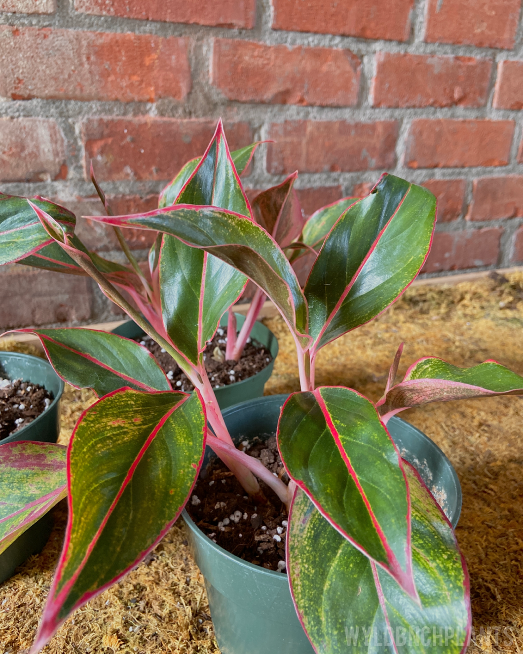 "Aglaonema || ""Red Siam"""