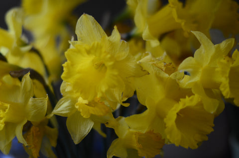 Dyeing with Daffodil