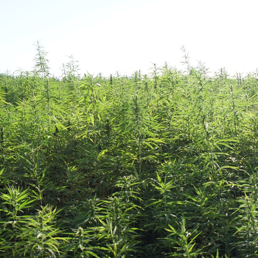 An Array of Hemp Questions