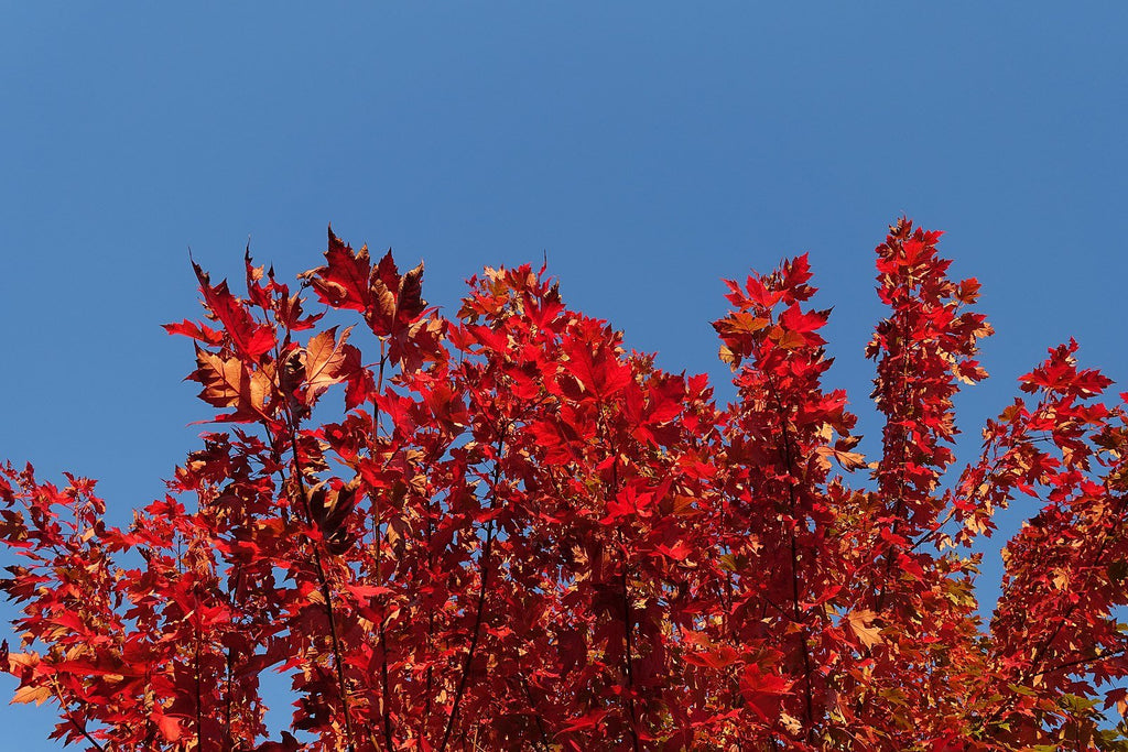 Maples for Fall: Top 4 Picks for Rich Color