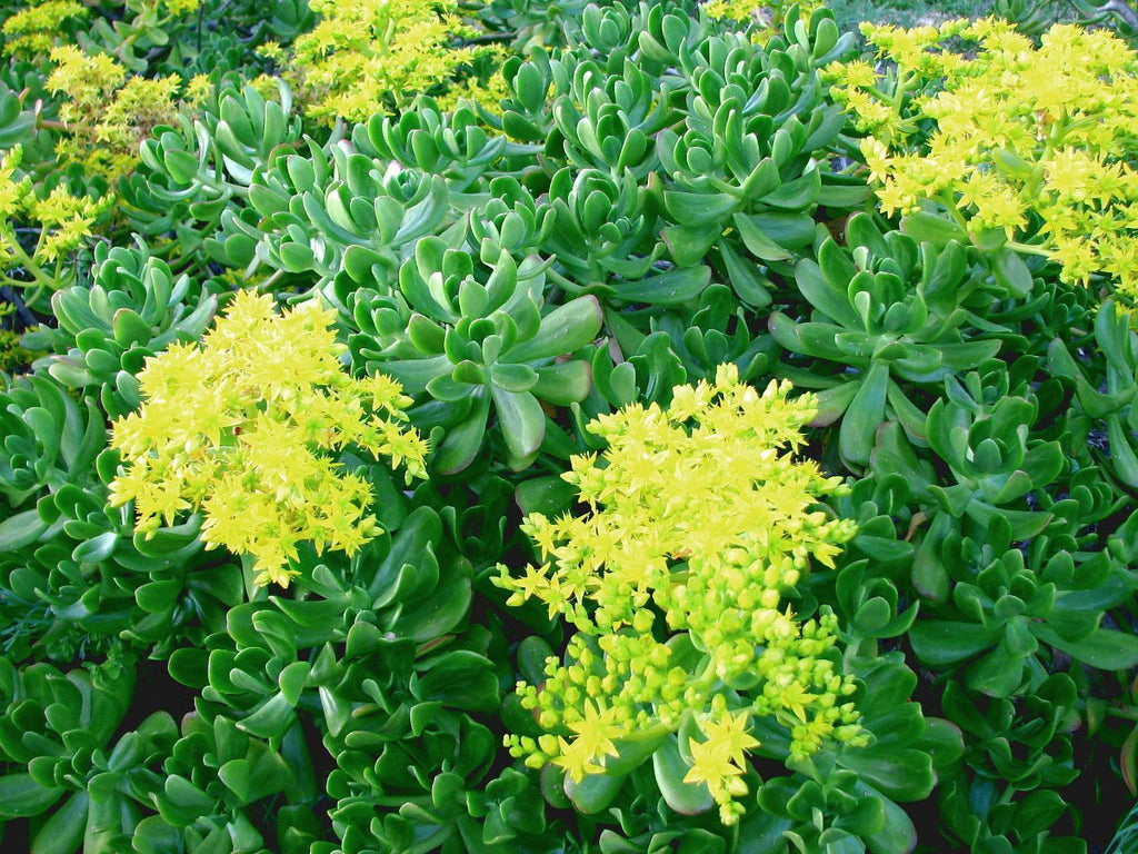 Sedum Tiles: Facts and Fresh Benefits