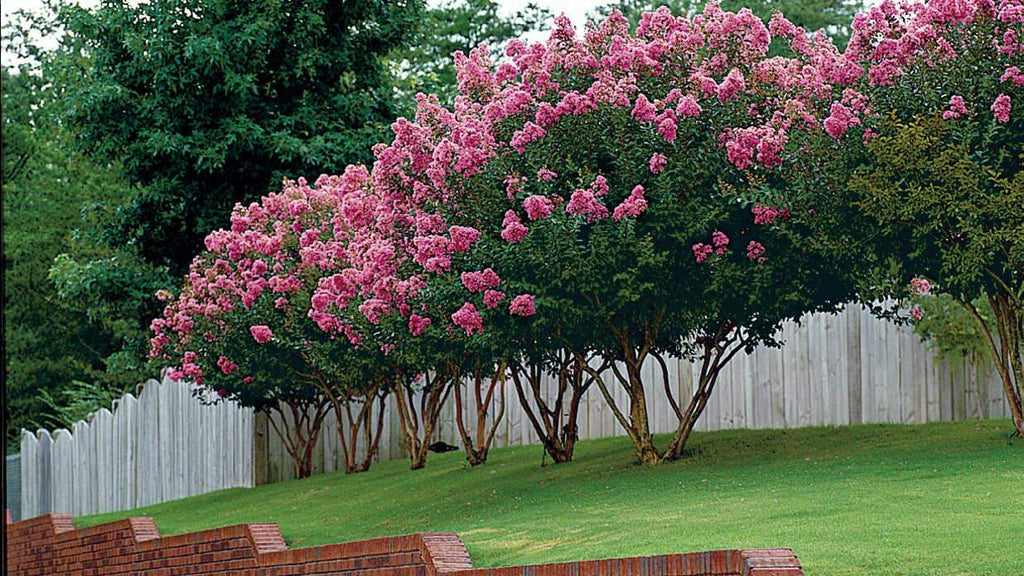 Pruning Crape Myrtles: How to Maintain Health