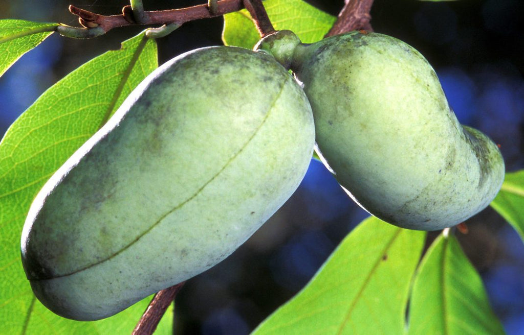 Plant Care 101: Paw Paw Tree