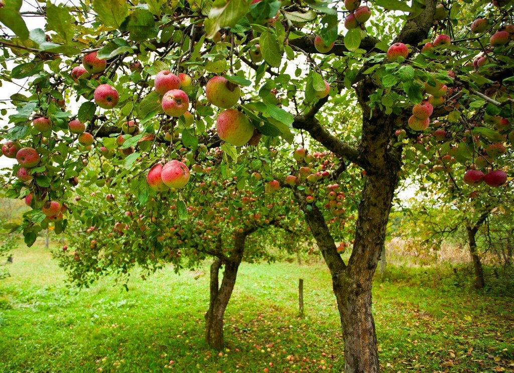 Apple Trees: Everything You Ever Wanted to Know
