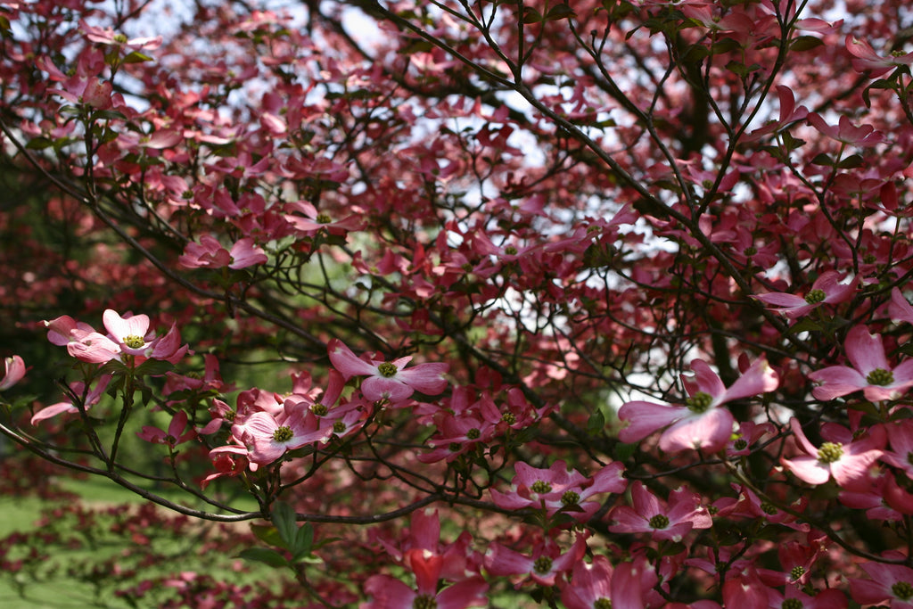 Dogwood Trees Everything You Ever Wanted To Know